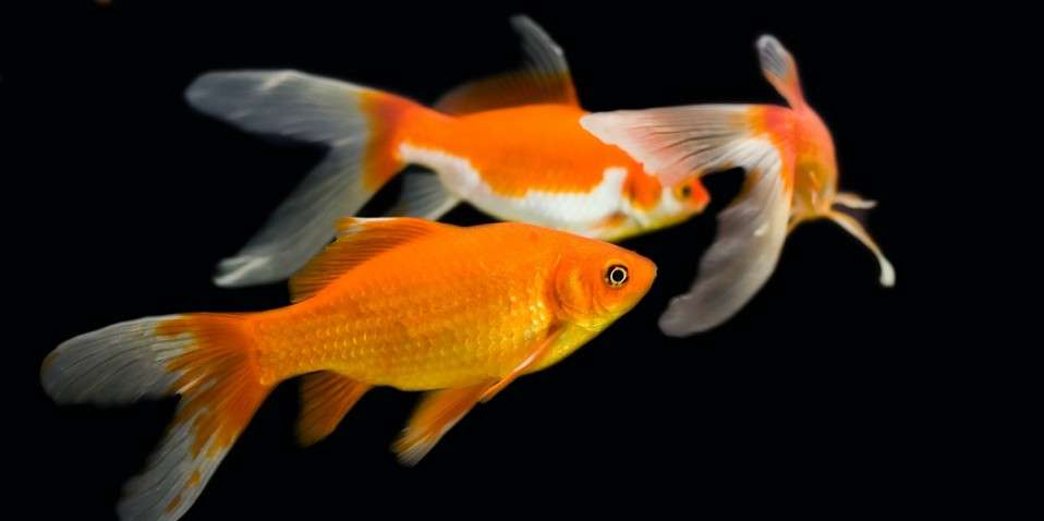 the difference between koi and goldfish knowledgenuts ForKoi Und Goldfisch